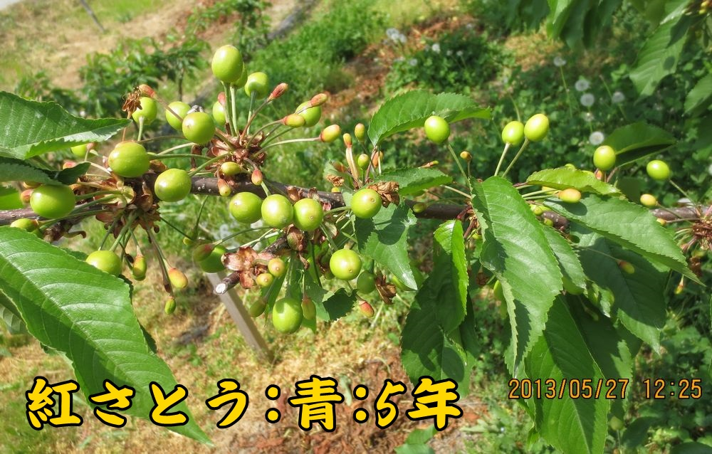 1a8紅さとう青葉台5年