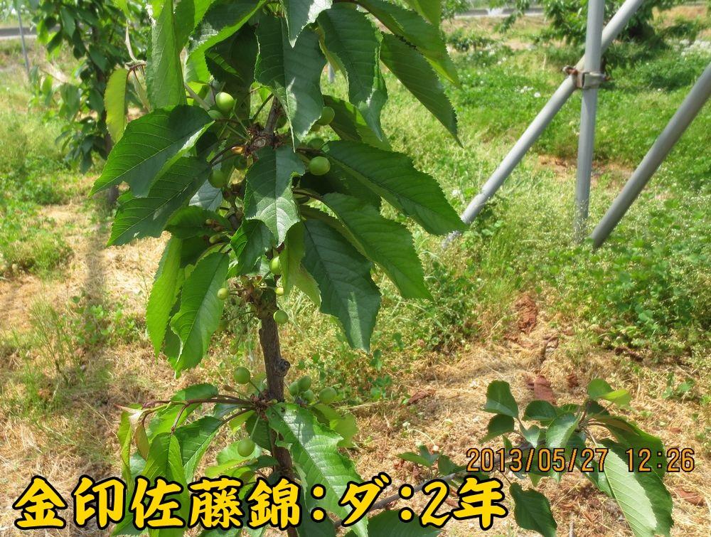 1a10佐藤錦ダーレン台2年