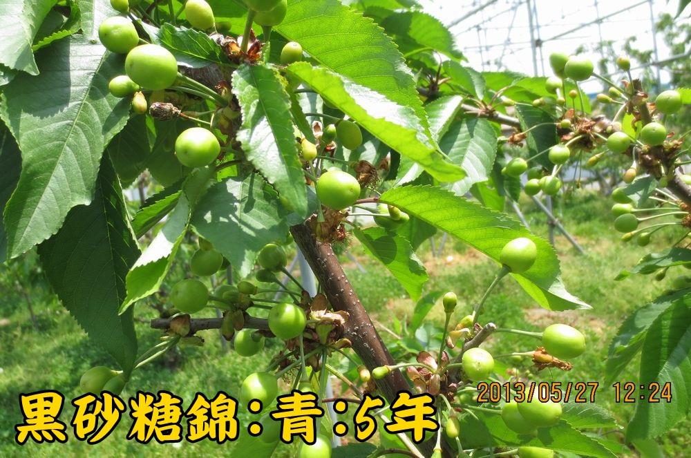 1a7黒砂糖錦B青葉台5年
