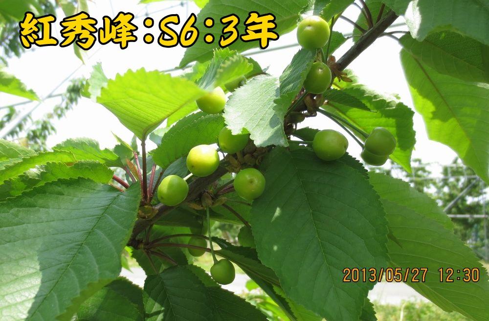 1a16紅秀峰S6台3年