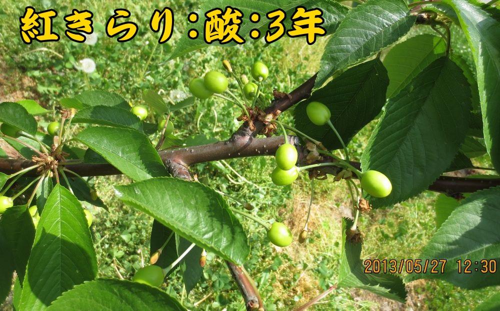 1a17紅きらり酸果桜桃台3年