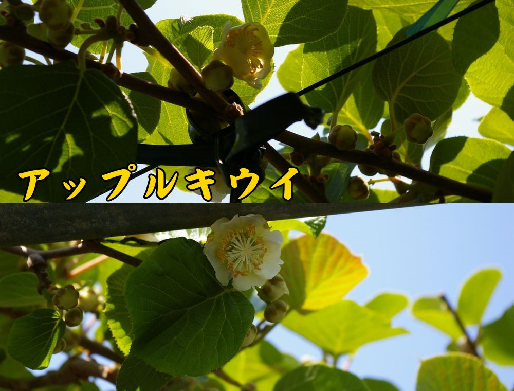 2Apple0504c1.jpg