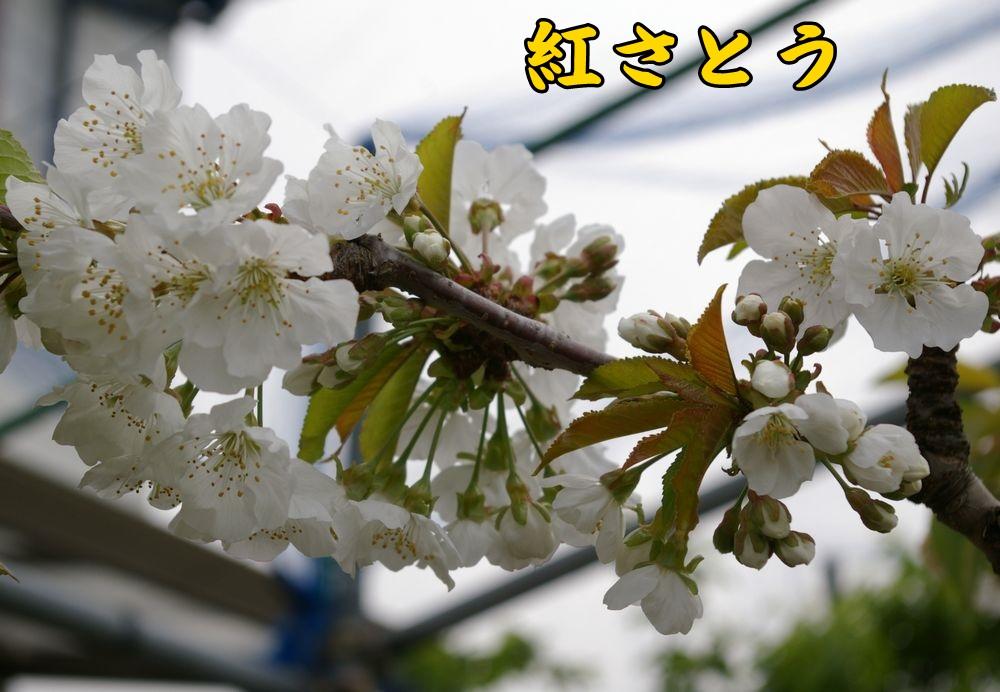 2benisato04c2.jpg