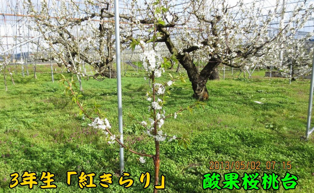 3benikira_sanka.jpg