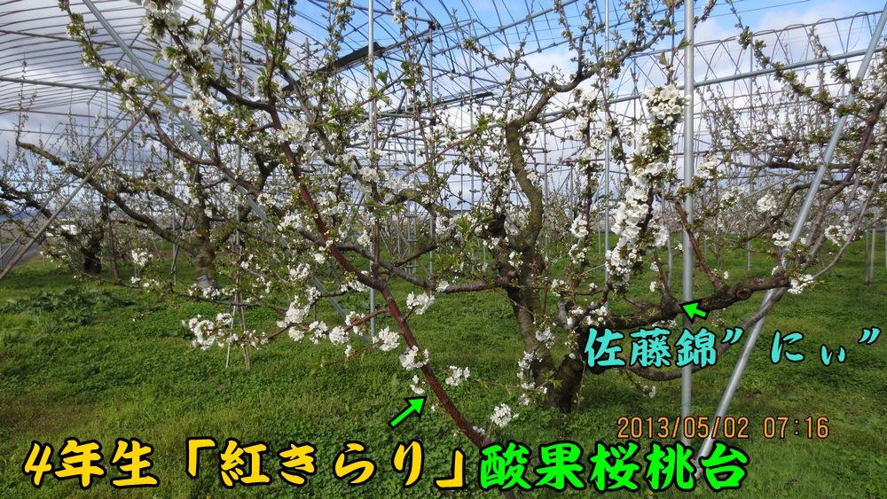 4beni_sato.jpg