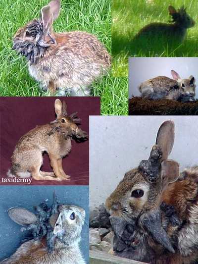 jackalope_rabbit-x.jpg