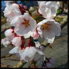 フロントライン桜