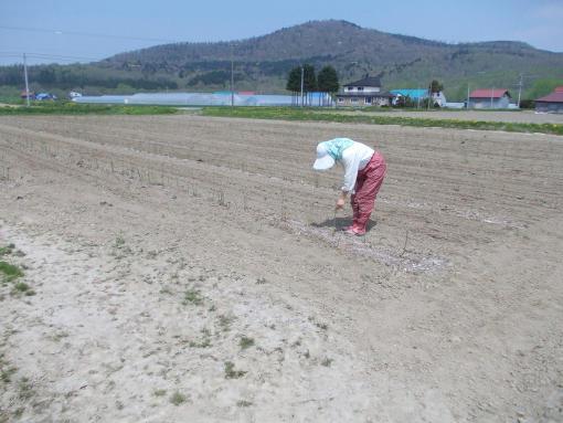 20130528_アスパラ育成畑