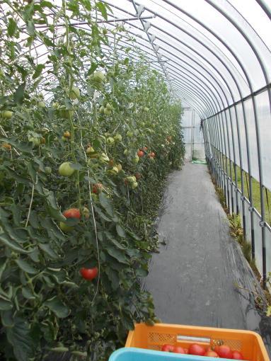 20130831_2番ハウストマト