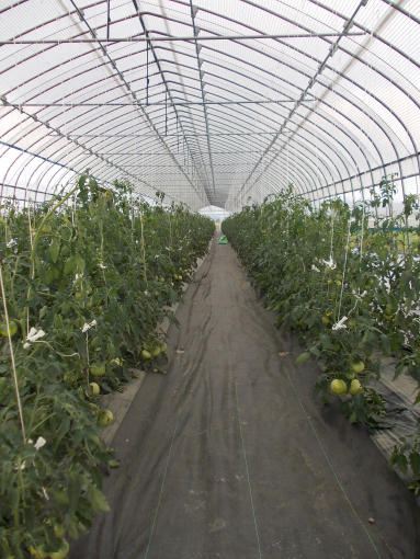 20130710_もう少しで収穫