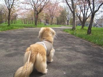 130519豊平川桜の杜のロナウド