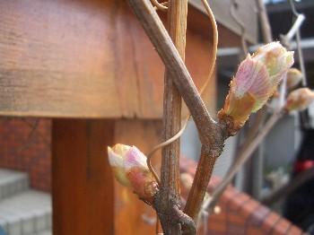 130518ブドウの新芽2
