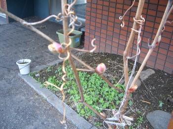 130518ブドウの新芽1