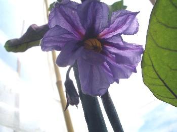 130623 ナスの花