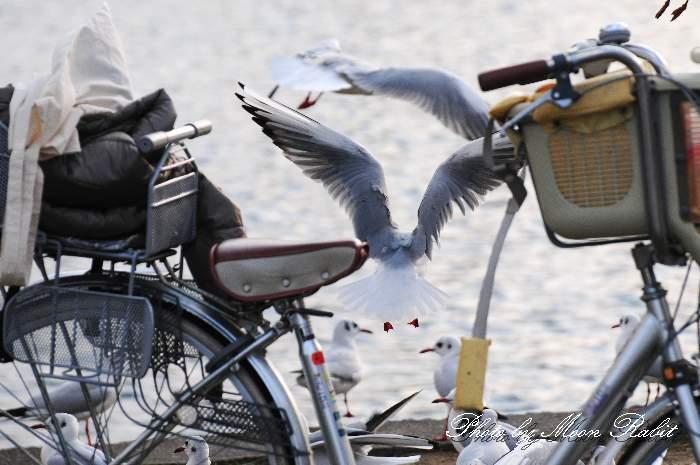 西条高校 お堀のカモメ(鴎)と自転車 愛媛県西条市明屋敷