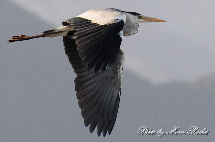 アオサギ(青鷺) 中山川大橋 鷺のコロニー 愛媛県西条市小松町