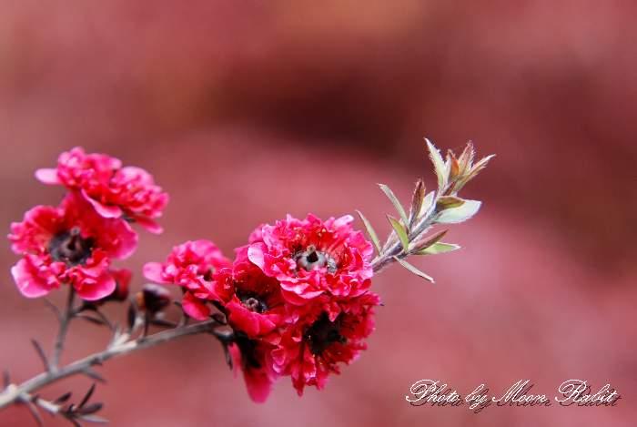 ギョリュウバイ 愛媛県 西条市 4月の花