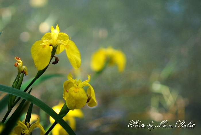 石田のひょうたん池 キショウブ 愛媛県 西条市 四国の5月の紫色の花