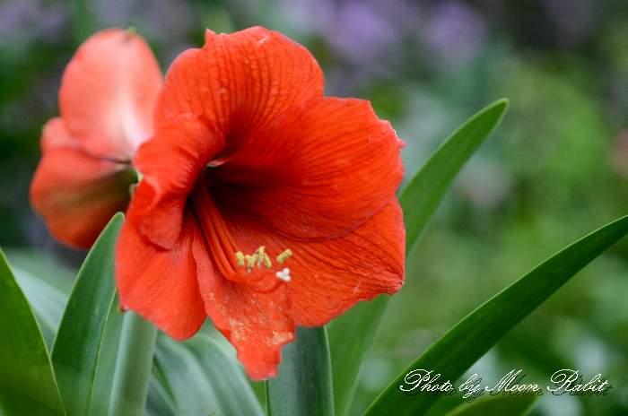 アマリリス 愛媛県 西条市 下喜多川 四国の5月の白色・赤色・橙色の花