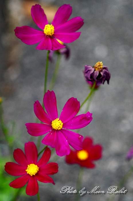 狂い咲き コスモス 愛媛県 西条市 福毘団地 四国の5月の赤紫色・白色の花