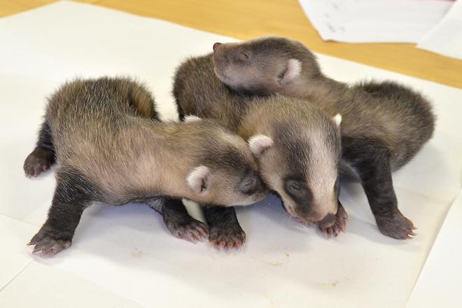 アナグマ赤ちゃん3兄妹