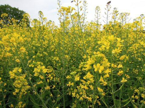 菜の花アップDSCN4488