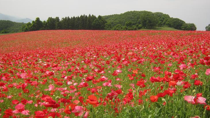 poppy130526-102.jpg