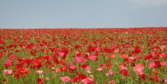poppy130526-105.jpg