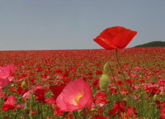 poppy130526-106.jpg