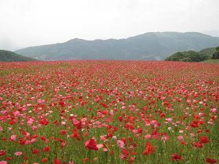 poppy130526-204.jpg