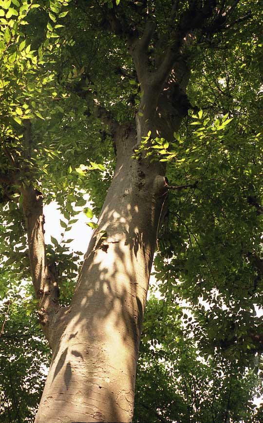 35mm樹