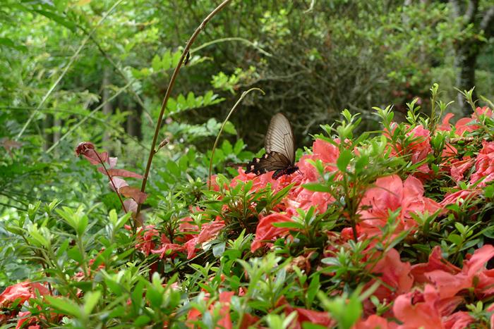 花と蝶 静岡 富士山
