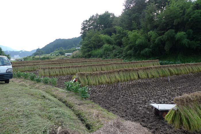 稲刈り たかやまもち 2013 2