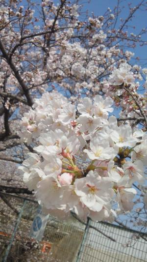 2013 桜夙川 桜