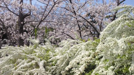 2013 桜夙川 桜と雪柳