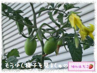 トマト観察日記★4★まだ支柱はいらないよ♪-3