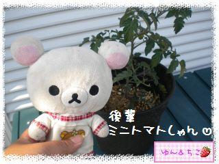 トマト観察日記★5★支柱立てるよ-2