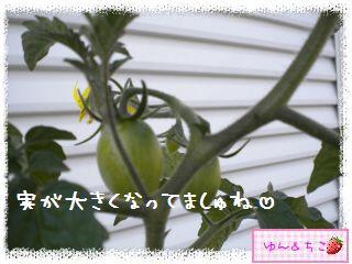 トマト観察日記★5★支柱立てるよ-3