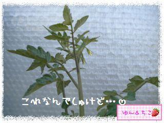 トマト観察日記★6★わき芽をとるの~-3