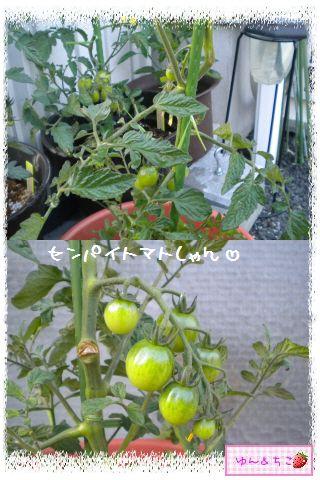 トマト観察日記★7★実が大きくなってきまちたよ-2