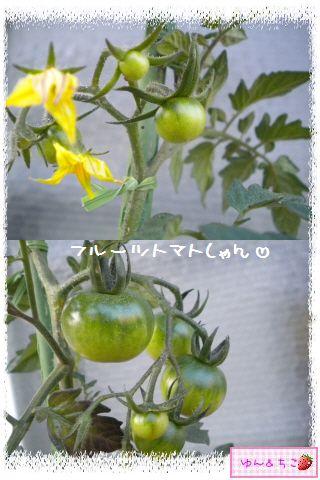 トマト観察日記★7★実が大きくなってきまちたよ-3