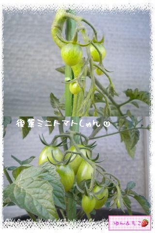 トマト観察日記★7★実が大きくなってきまちたよ-4