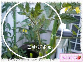 トマト観察日記★8★わき芽をとるの~その2-3