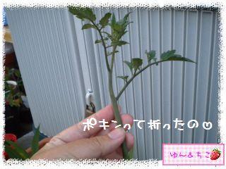 トマト観察日記★8★わき芽をとるの~その2-4