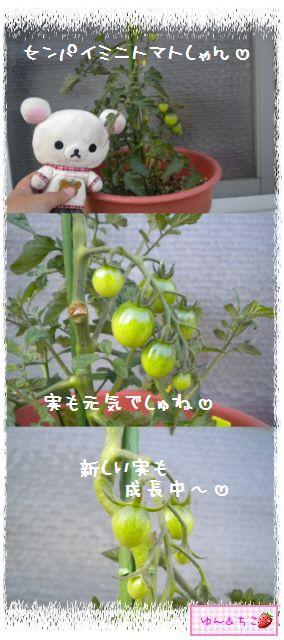 トマト観察日記★9★わき芽ぞくぞく~-3
