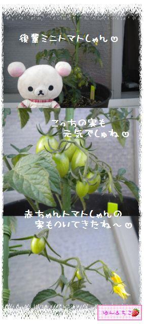 トマト観察日記★9★わき芽ぞくぞく~-4