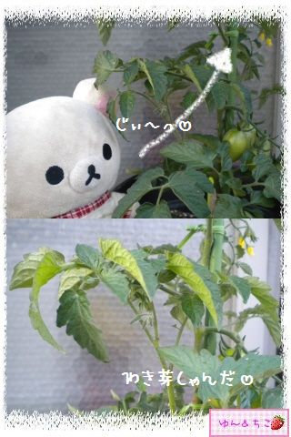 トマト観察日記★9★わき芽ぞくぞく~-5