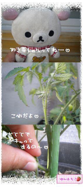トマト観察日記★9★わき芽ぞくぞく~-6
