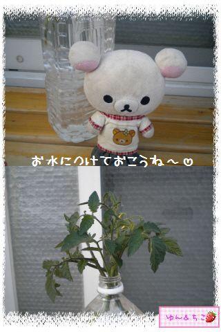 トマト観察日記★9★わき芽ぞくぞく~-7