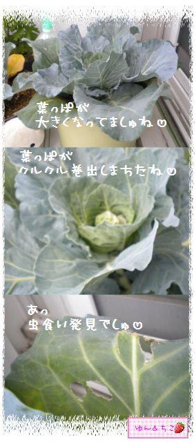 ちこちゃんのキャベツ観察日記★2★大きくなってましゅよ~-3